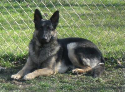 My Life with German Shepherd Dogs