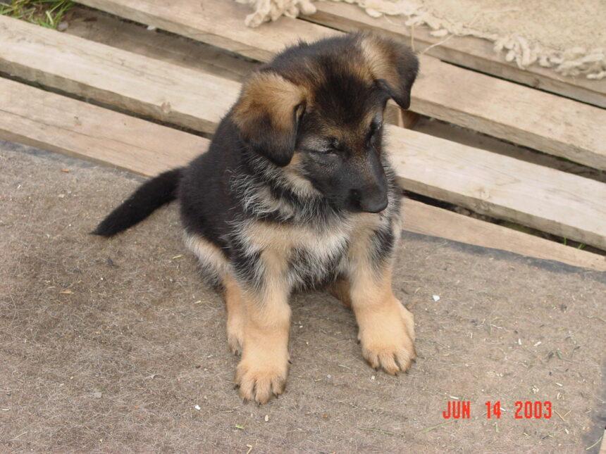 A German Shepherd puppy